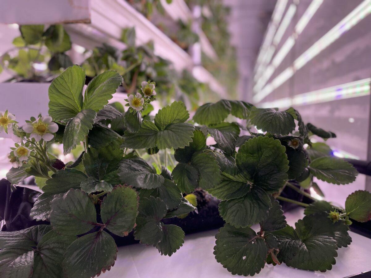 La grande distribution de plants de fraises organisée par Ferme d'Hiver et le Laboratoire sur l'agriculture urbaine récolte un franc succès!